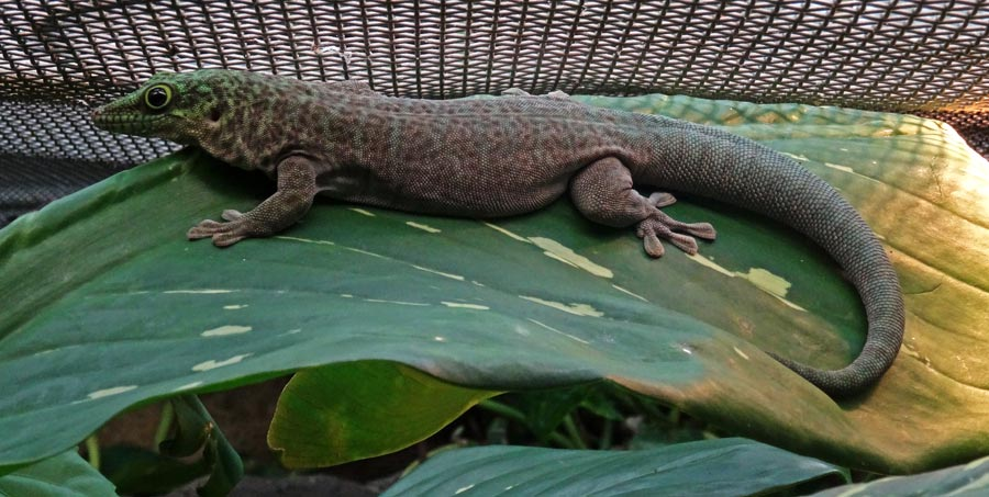 Dornwald-Taggecko im Zoo Wuppertal am 19. September 2015