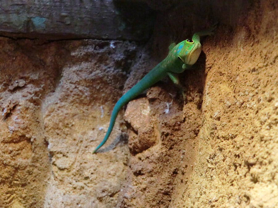 Pasteurs Taggecko im Wuppertaler Zoo am 1. August 2013
