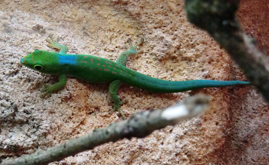Pasteurs Taggecko im Zoo Wuppertal am 1. August 2013