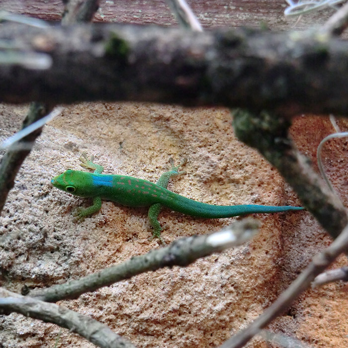 Pasteurs Taggecko im Wuppertaler Zoo im  August 2013