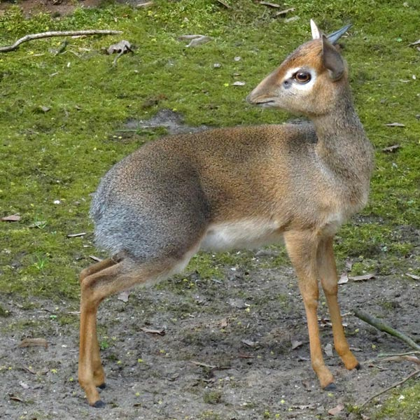 Kirk-Dikdik im April 2017 im Wuppertaler Zoo