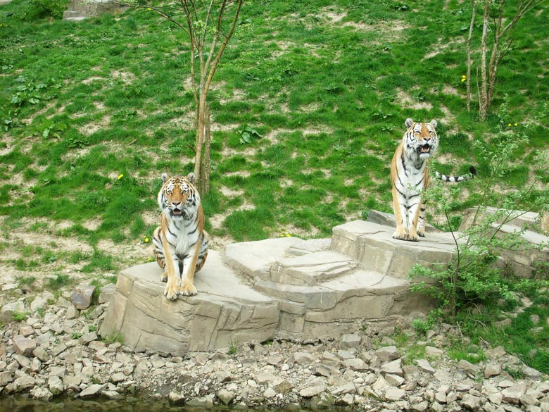 Sibirische Tiger im Wuppertaler Zoo am 30. April 2010