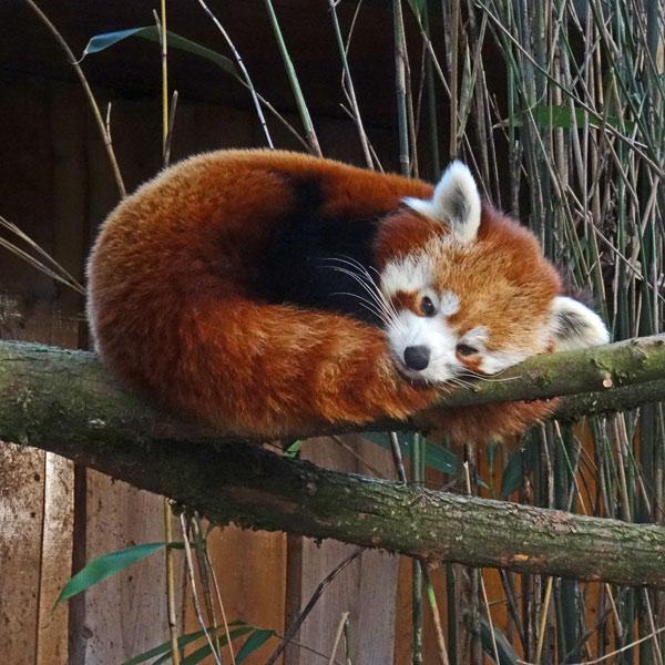 Kleiner Panda Roter Panda